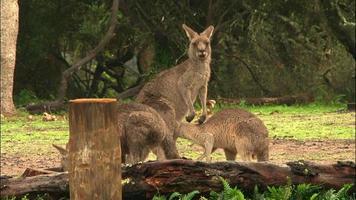kangourou - marsupial australien indigène video