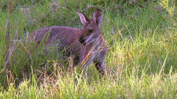 canguru wallaby de cara bonita comendo grama video