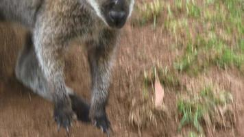 canguro video
