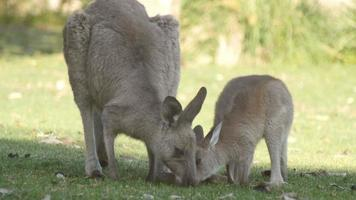 madre y joey canguro wallaby animal marsupial australia