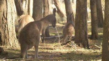 Kangaroo Wallaby Marsupial Animal Australia