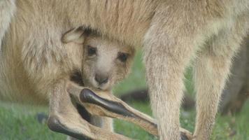 Joey Kangaroo Wallaby Marsupial Animal Australia