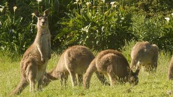 animal marsupial canguru wallaby comendo austrália