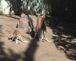 pelea de canguro video