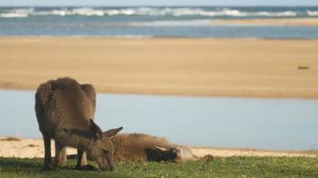 Kangaroo Wallaby Marsupial Animal Eating Australia