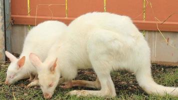 wallaby blanco video