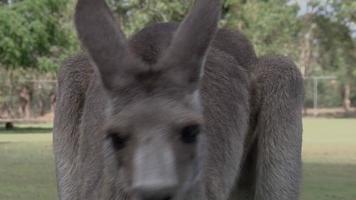 kangourou gris de l'est