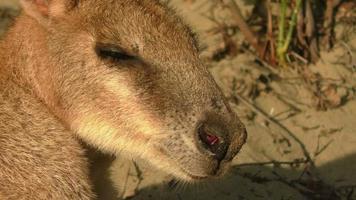 canguro en la playa en australia