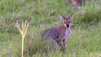 canguru - wallaby de rosto bonito comendo grama video