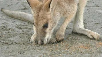 Wallaby on the beach in Australia