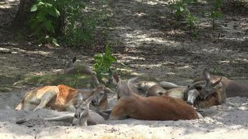 canguri selvatici al parco nazionale video