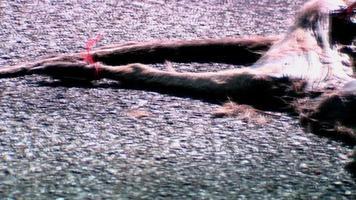 roadkill, canguro morto in decomposizione sulla strada video