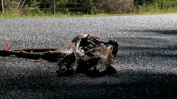 roadkill, canguro morto in decomposizione sulla strada mentre l'auto passa video