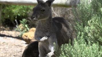 Canguro que pica de cerca en el parque nacional Cape Le Grand video