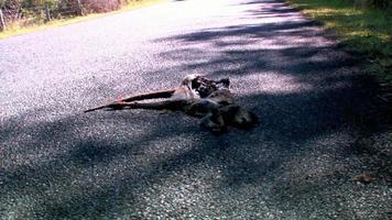 roadkill, canguro morto in decomposizione sulla strada al passaggio dell'auto 2