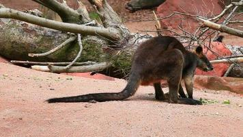 wallaby video