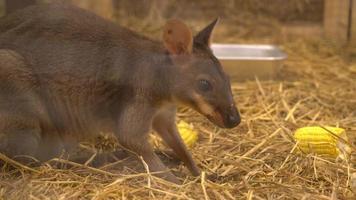 wallaby ou mini canguru video