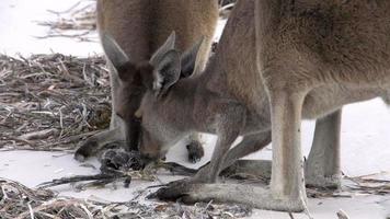 canguri che mangiano un uccello morto sulla spiaggia nel parco nazionale di cape le grand
