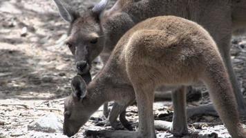 Cerca del bebé y la madre canguro comiendo en el parque nacional Cape Le Grand video