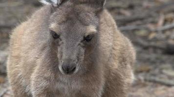 Cerrar canguro bebé en el parque nacional Cape Le Grand video