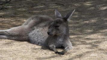 Canguro joven de pie y se aleja en el parque nacional Cape Le Grand video