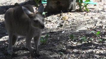 bebê canguru indo embora no parque nacional de cape le grand