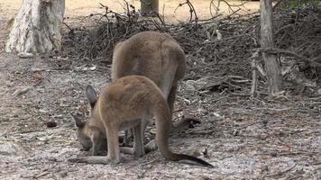 mãe e bebê canguru comendo e olhando para o parque nacional cape le grand video