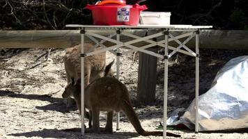Canguros alrededor del camping en Lucky Bay en Cape Le Grand National Park