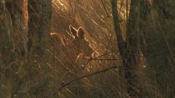 canguru no mato australiano video