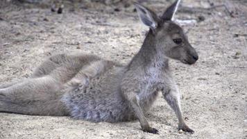 Baby kangaroo standing up and jumps away in slow motion in Cape Le Grand National Park