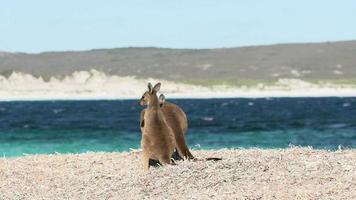 mãe e bebê canguru caminhando na praia da baía da sorte no parque nacional de cabo le grand