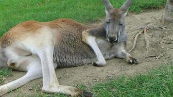 Känguru legt sich hin und schläft