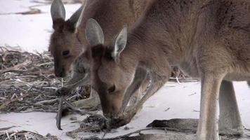 canguri che mangiano al rallentatore un uccello della morte sulla spiaggia nel parco nazionale di cape le grand