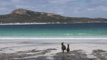 canguros en la playa en el parque nacional del cabo le grand saltando