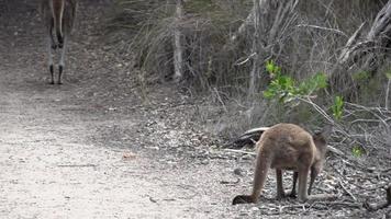Baby Känguru springt in Zeitlupe