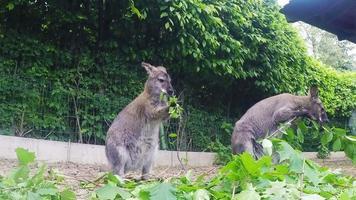 abbagliante wallaby dal collo rosso (macropus rufogriseus) video