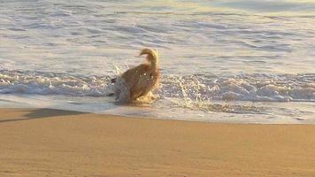 Perro golden retriever busca un juguete en la playa