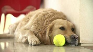 Golden Retriever Hund spielt mit Ball drinnen