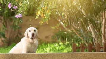 Chien labrador blanc senior dans le jardin