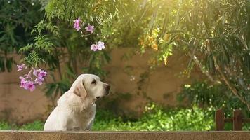 Alerte chien labrador senior dans le jardin