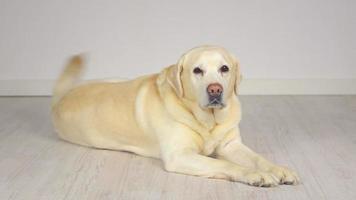 goldener Labrador Retriever, der auf dem Boden liegt