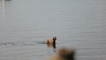 Hund schwimmt im Wasser.