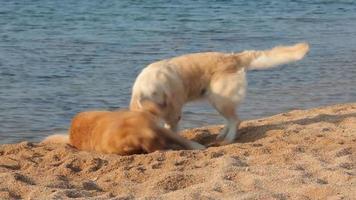 Zwei Golden Retriever spielen