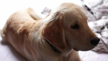 Welpe von Golden Retriever video