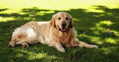simpatico labrador sdraiato sull'erba