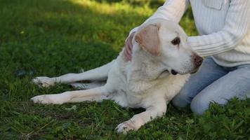 woman giving massage to a senior labrador dog