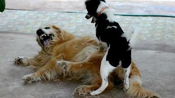 ein schwarzer Hund neckt Golden Retriever