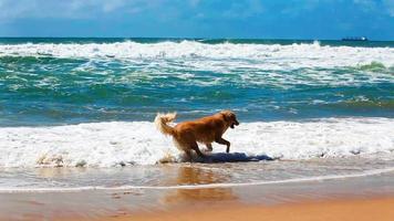 Golden Retriever, der Stock an einem Strand holt