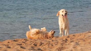 zwei Golden Retriever spielen zusammen am Strand video