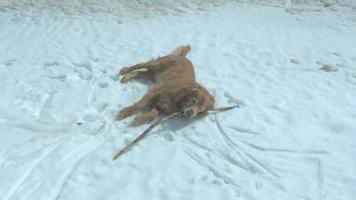 Golden retriever perro adulto rodando jugando en la nieve